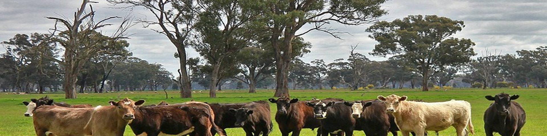 Las mejores razas de vacas para carne que debes probar
